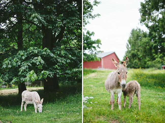 donkeys in langley country
