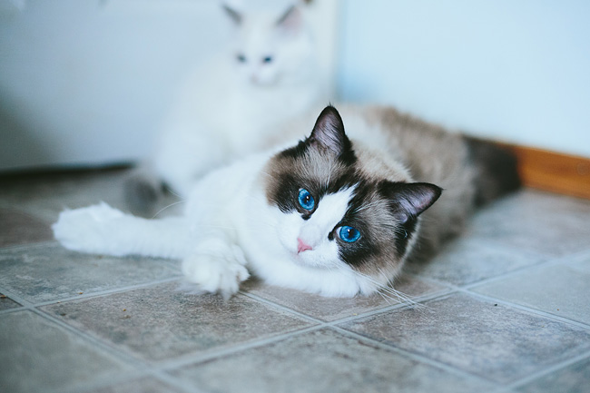 Bella Rina from Hug-a-Ragdoll Cattery in Coquitlam BC