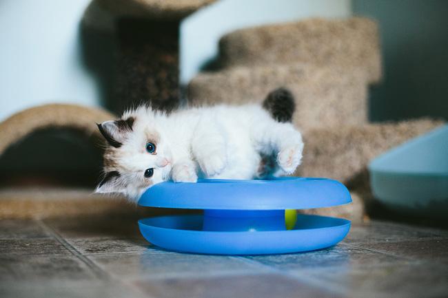 Asher the kitten from Hug a Ragdoll
