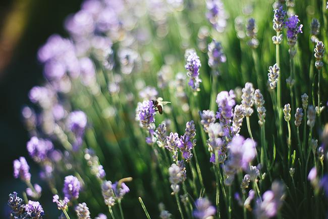 Purple flowers at Queen Elizabeth Park